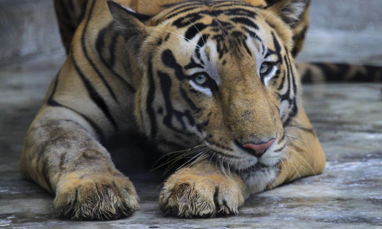 ASV zoodārzā ar jauno koronavīrusu inficējies tīģeris