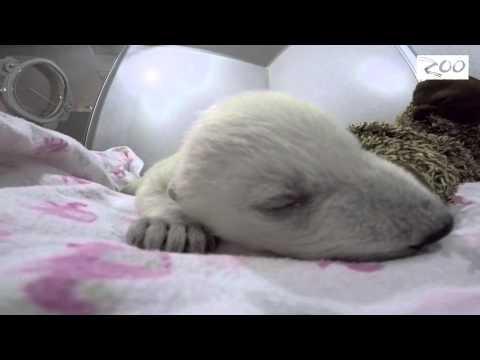Mīļi: baltais mazais lācītis aktīvi grozās un skaļi sapņo