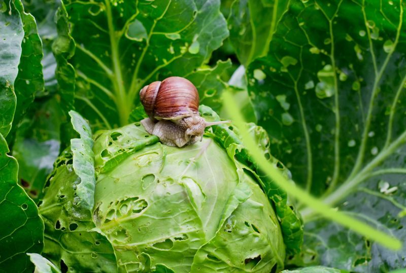 Dārzu apsēduši gliemeži. Kā kaitniekus apkarot?