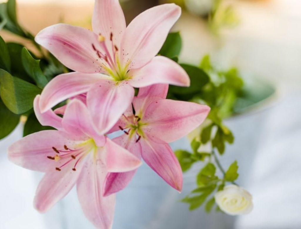 Kā audzēt lilijas podos?