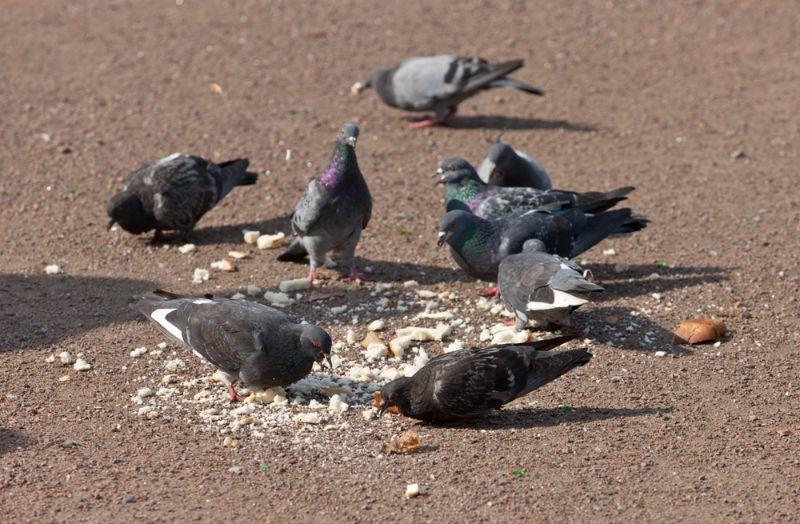 Vai pilsētu pagalmos drīkst barot putnus