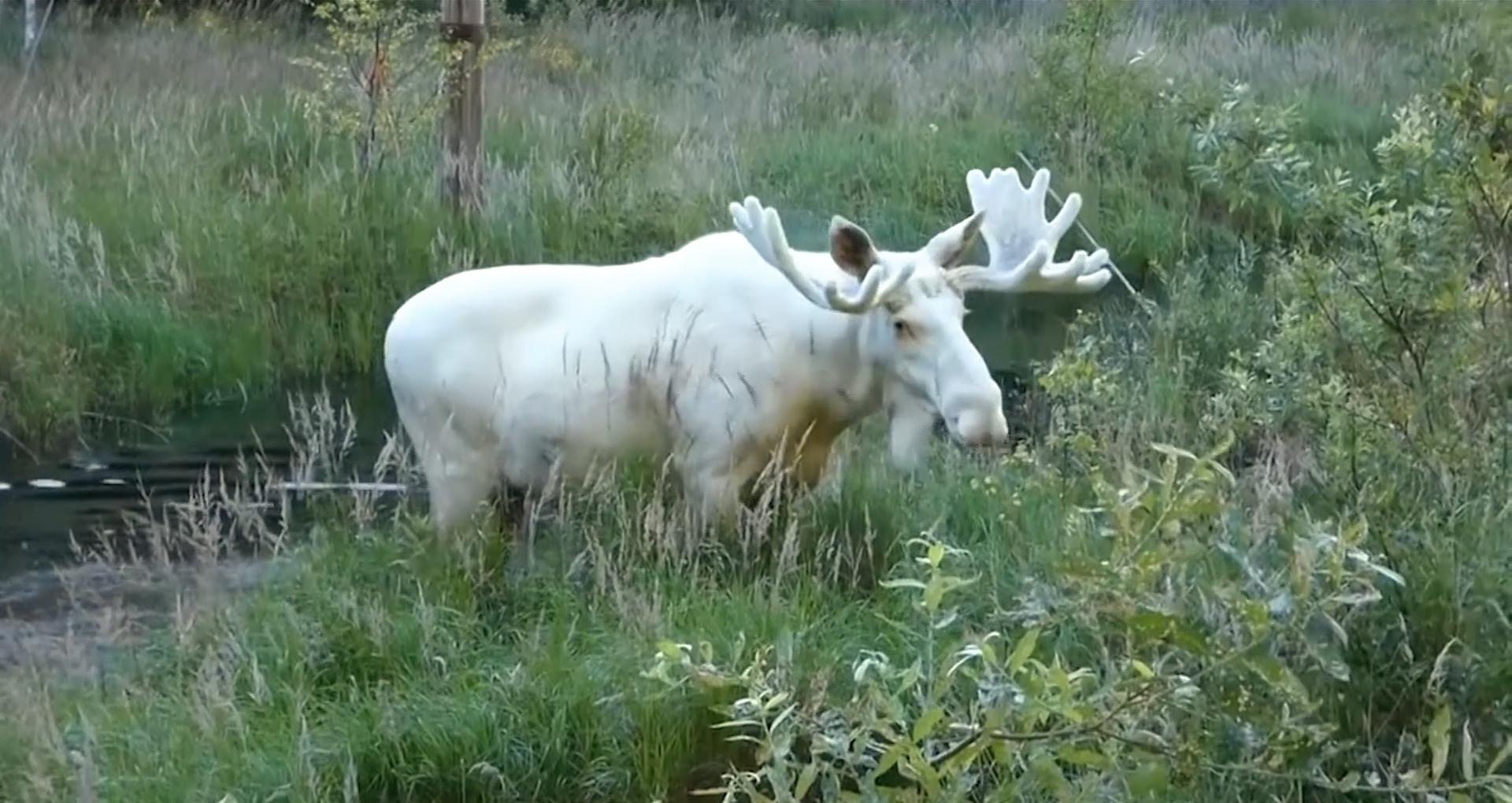 Video: Viļakas novadā manīts retais baltais alnis